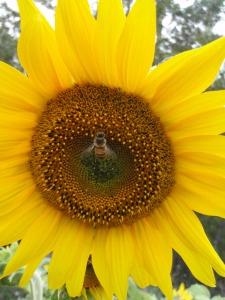 Florida Bee Pollinator