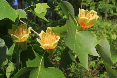 Tulip Tree – By Dcrjsr (Own work) CC-BY-3.0 (http://creativecommons.org/licenses/by/3.0), via Wikimedia Commons