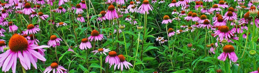 Echinacea purpurea,  Eastern Purple Coneflower  Photo by H. Zell 2009 (CCA-SA-3)